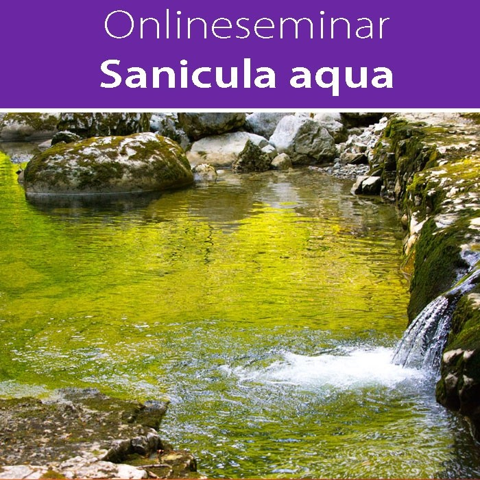 Sanicula aqua in all seinen Facetten